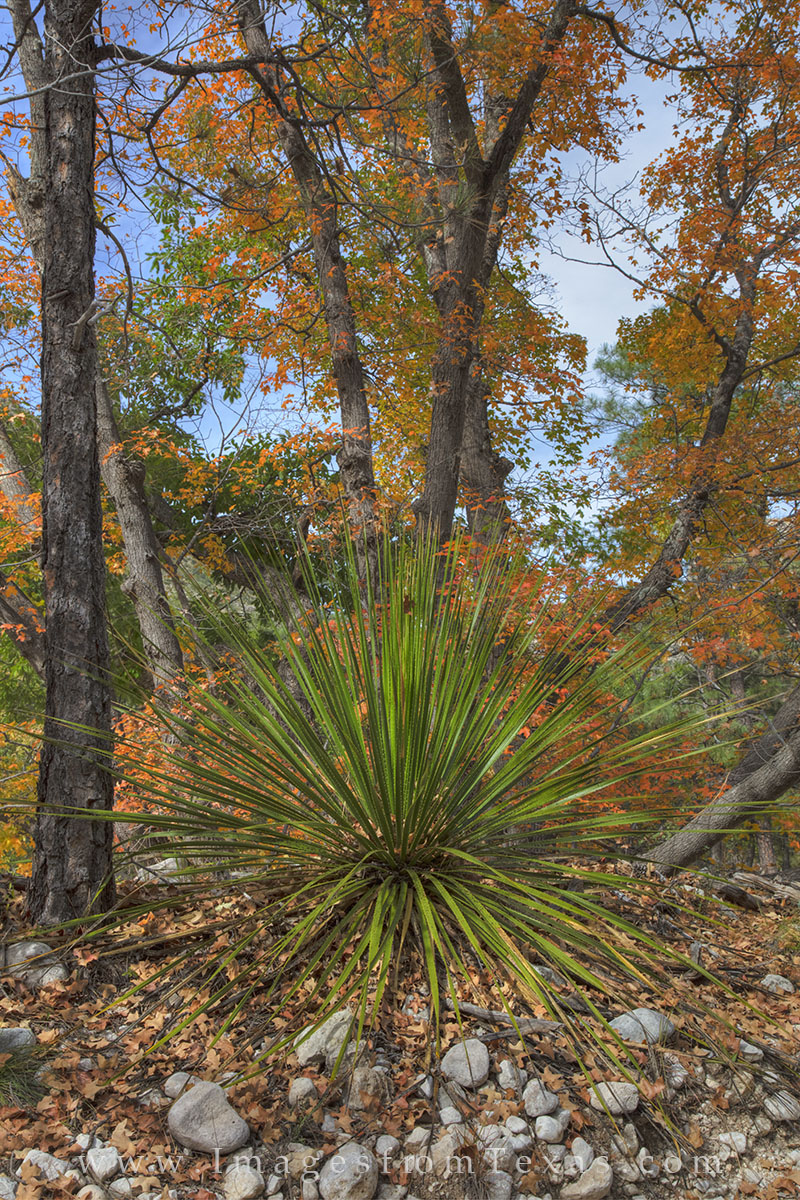 guadalupe mountains national park, texas national parks, mckittrick canyon, fall colors, texas fall colors, autumn colors. guadalupe mountains national park, yucca, bigtooth maple, photo