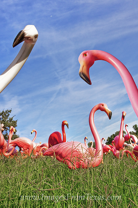 austin flamingos,austin icons,austin texas, photo