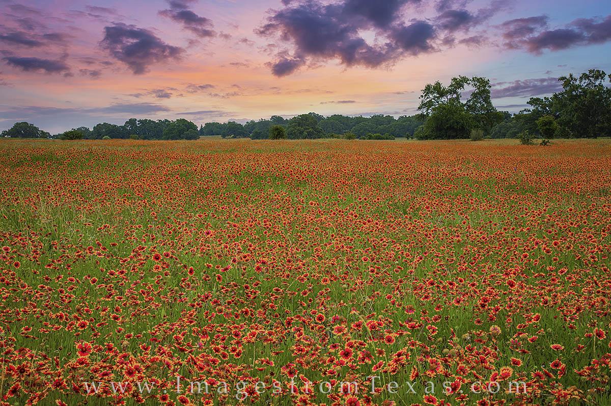 firewheels, texas wildflowers, texas wildflower prints, texas wildflower photos, indian blankets, texas in spring, photo