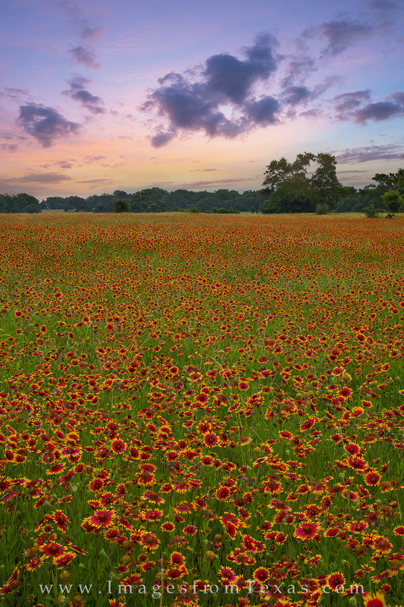 texas wildflower pictures, texas wildflowers, wildflower photos, texas landscapes, texas spring, firewheels, indian blankets, photo