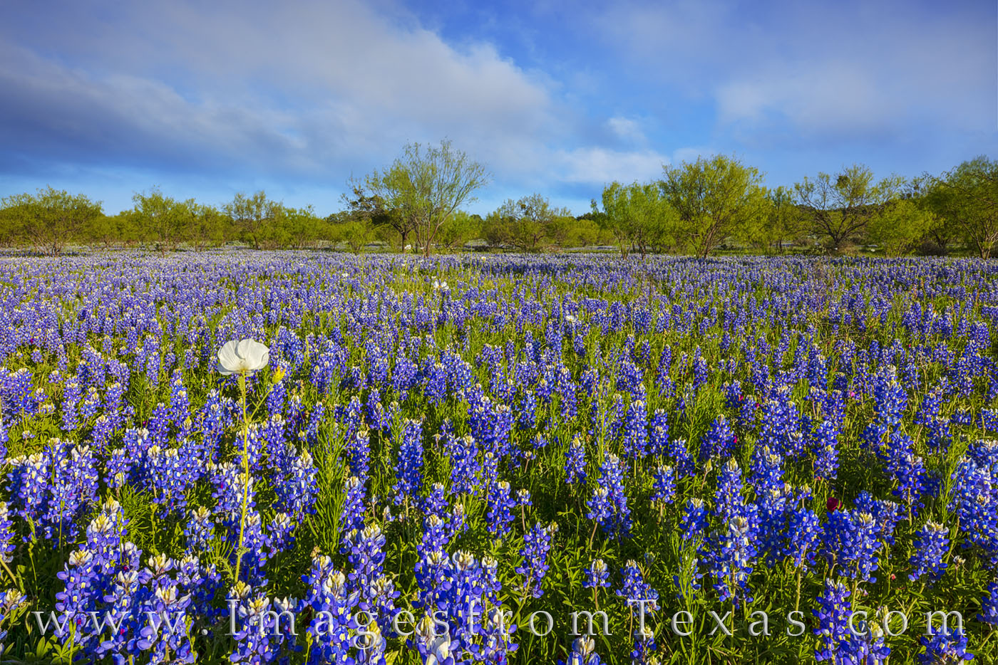 bluebonnets, wildflowers, poppies, hill country, mesquite trees, afternoon, blue, sky, photo