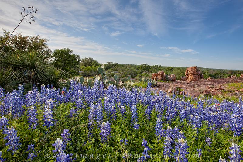 bluebonnets,bluebonnet pictures,wildflower pictures,texas landscapes,texas prints,texas, photo