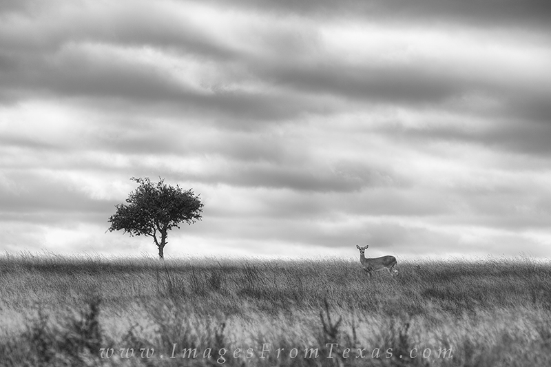 black and white,Texas black and white,Texas Hill Country,deer,black and white images, photo