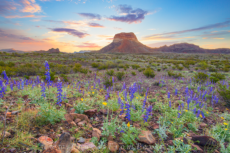 big bend national park,bluebponnet images,texas wildflowers,cerro castellano,texas sunrise,texas landscapes, photo