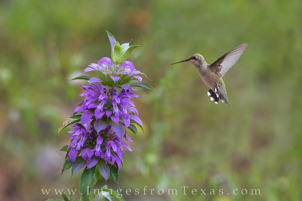 hummingbird, purple horsemint, texas wildflowers, texas blooms, hummers, spring, birds, photo