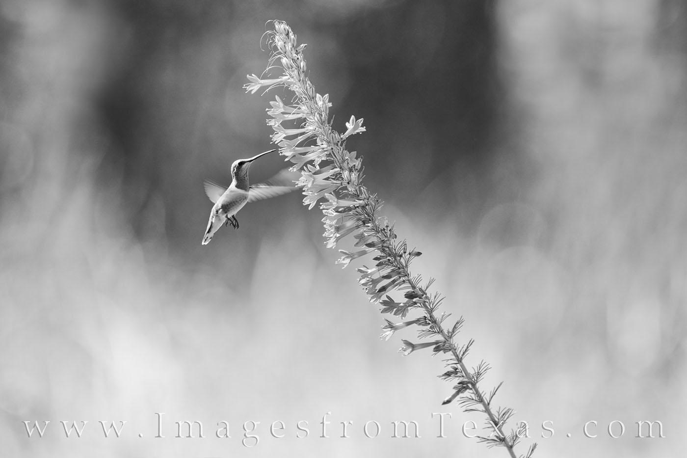 hummingbird, wildflowers, hummers, summer, texas hummingbirds, black and white, photo