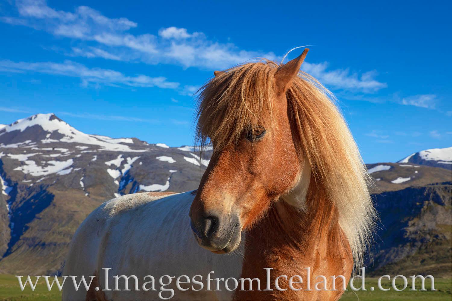 The Icelandic horse was brought to the country in the 9th and 10th centuries by Norse settlers. Today, the breed is pure. Icelandic...