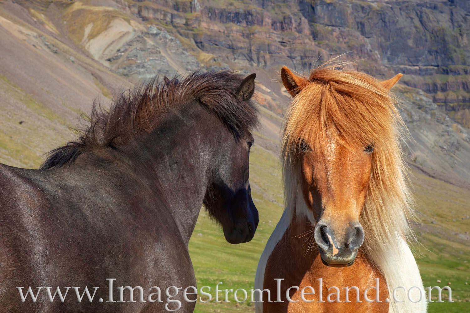 Two Icelandic horses enjoy the warm sun of a summer afternoon -- and they seem to like having me around photographing them.