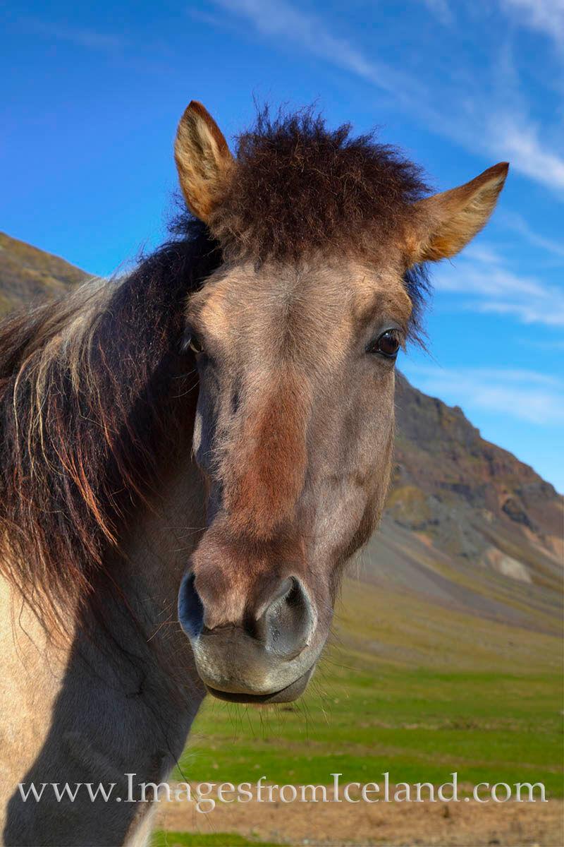 In the fishing village of Grundarfjörður, an Icelandic horse poses for a glamour shot beneath a beautiful, sunny,  blue sky...