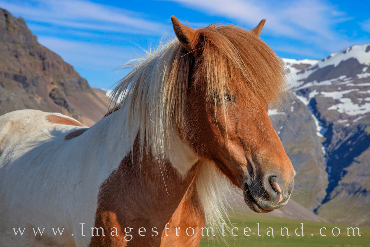 A beautiful Icelandic horse basks in the warm morning light in west Iceland.