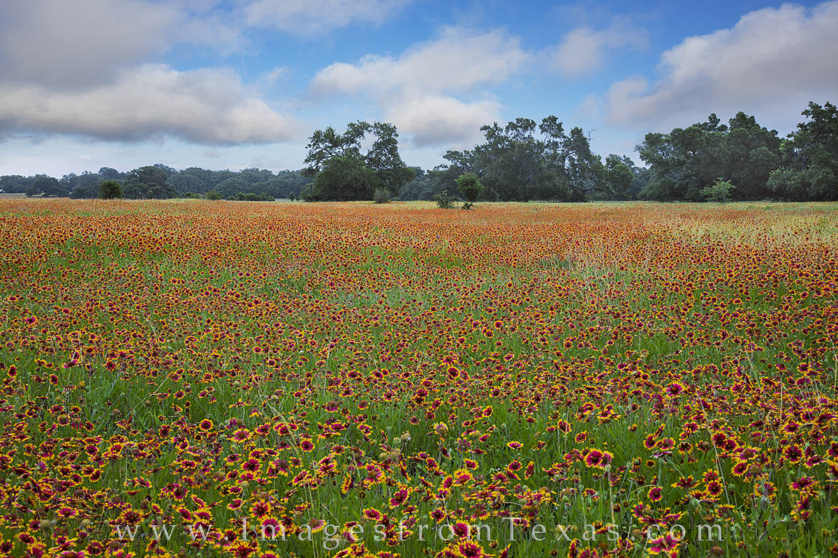 texas wildflowers, texas hill country, wildflower images, texas hill country photos, firewheels, indian blankets, texas flowers, photo