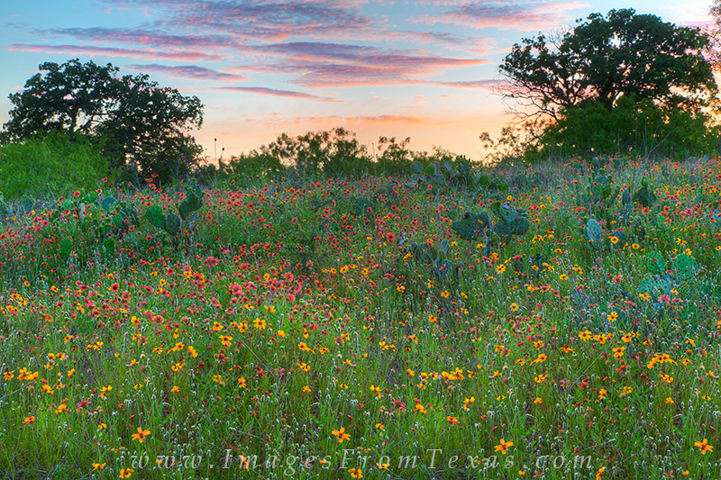 texas wildflowers,texas hill country wildflowers,texas wildflower pictures, photo
