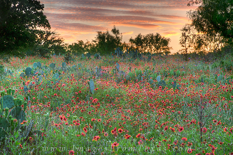 texas wildflower photos,indian blankets,firewheels,texas wildflowers,texas blooms, photo