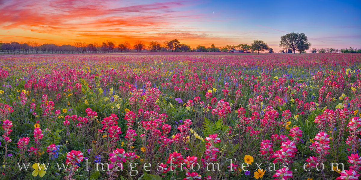 From the rural community of New Berlin, Texas, this panorama shows a field of colorful wildflowers at sunrise. Made up of phlox...