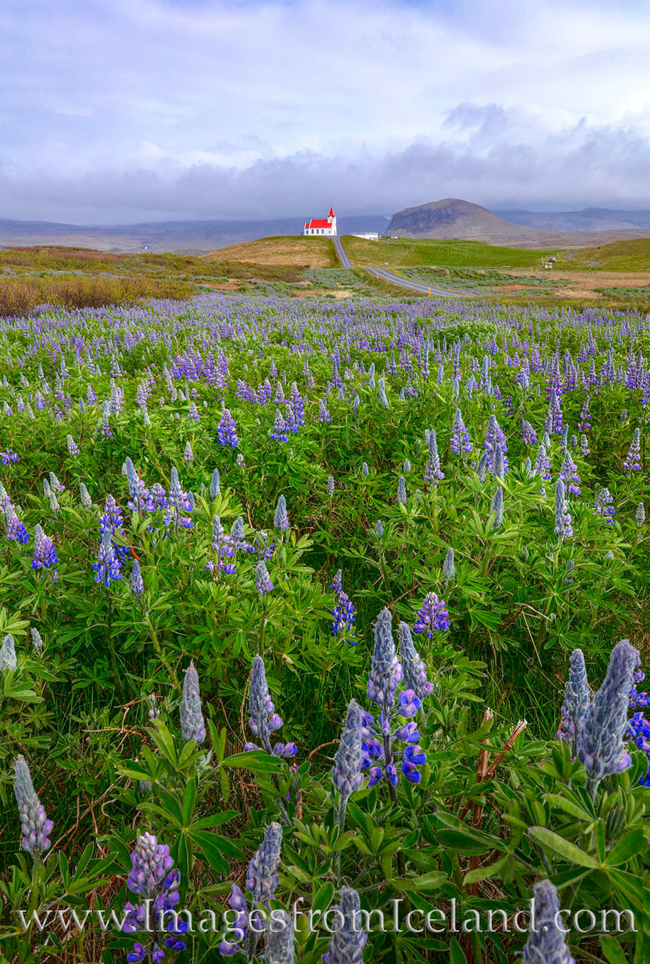 A little church with a red roof known as Ingjaldshólskirkja sits on hill surrounded by nootka lupine. Located in the Snæfellsnes...