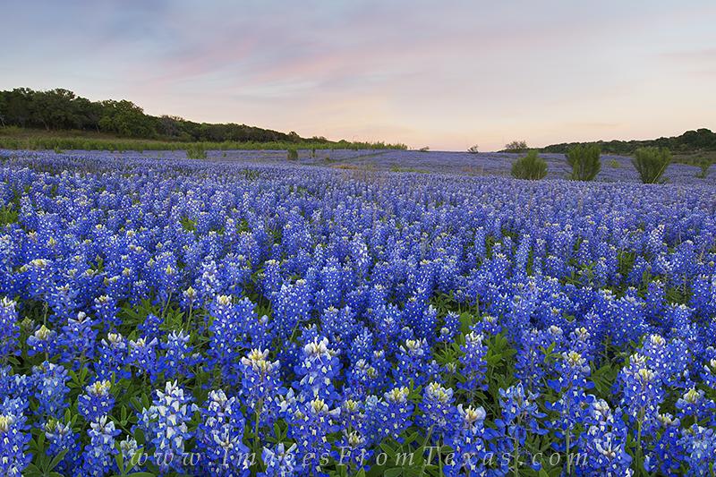 bluebonnet photos,bluebonnet prints,texas bluebonnets,texas wildflower prints, photo