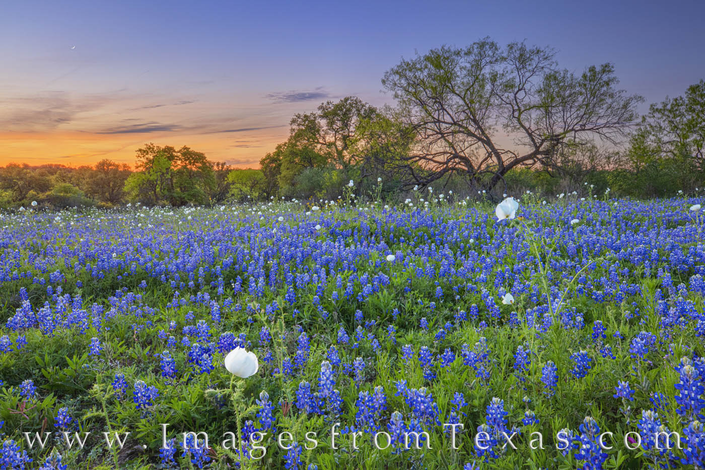 bluebonnets, sunset, hill country, dirt road, poppies, wildflowers, bluebonnet prints, texas prints, landscapes, photo