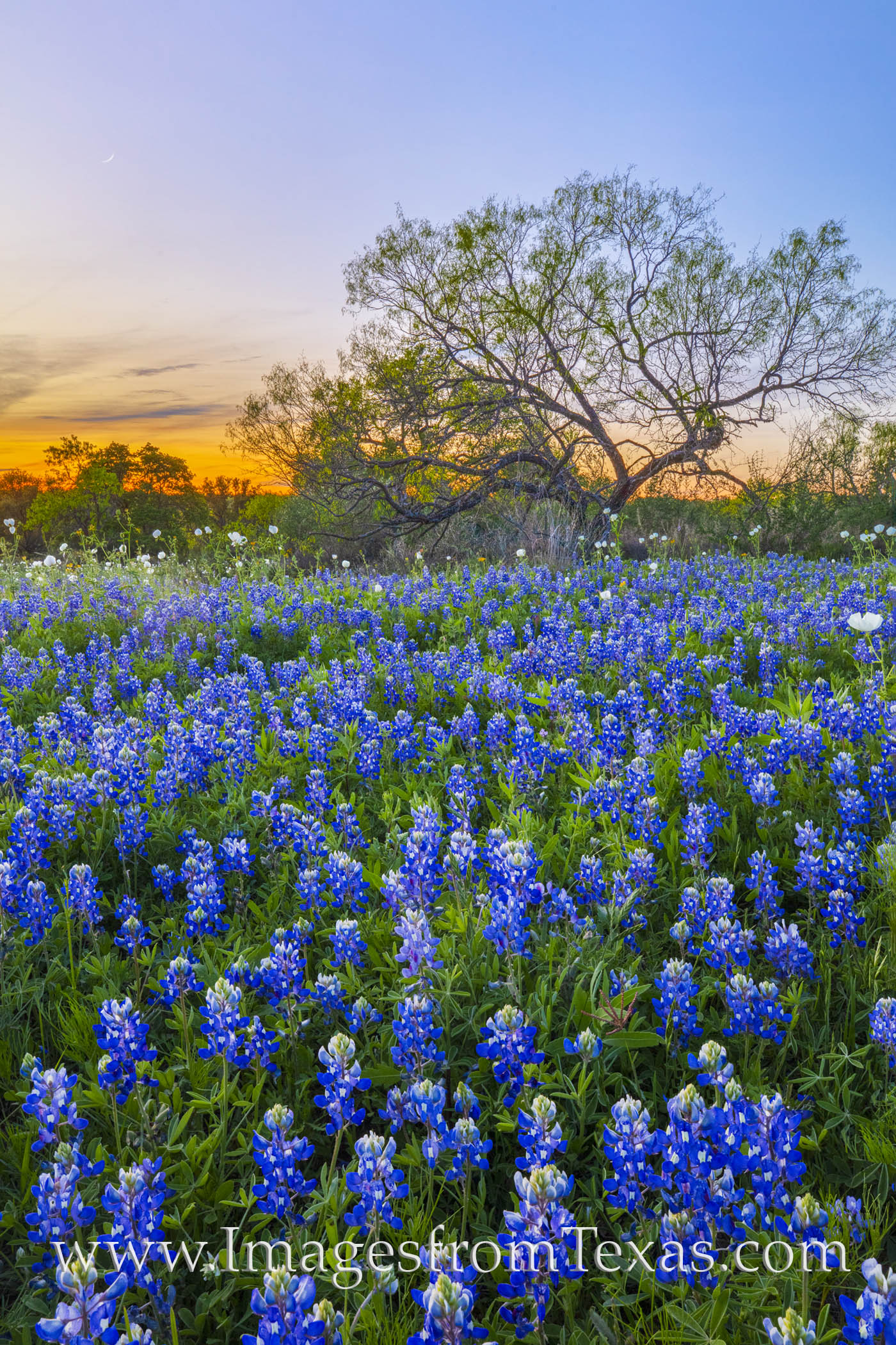 bluebonnets, sunset, country roads, hill country, spring, wildflowers, landscapes, beautiful, photo