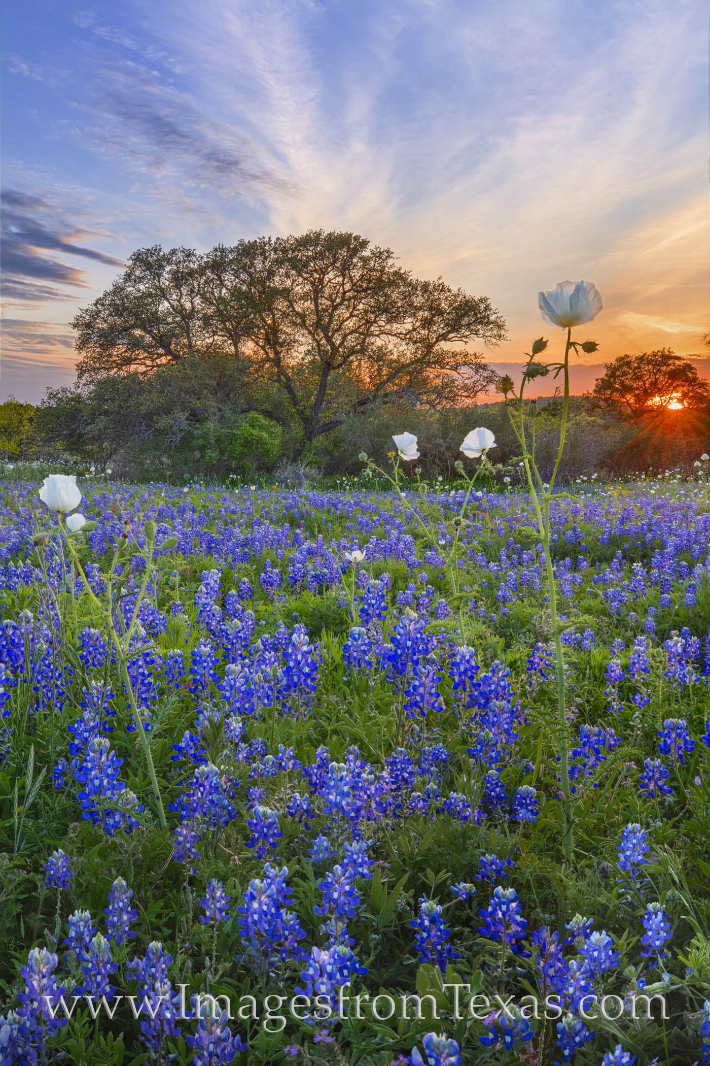 bluebonnets, wildflowers, prickly poppies, dirt road, hill country, sunset, sunburst, evening, exploring texas, county road, country road, photo