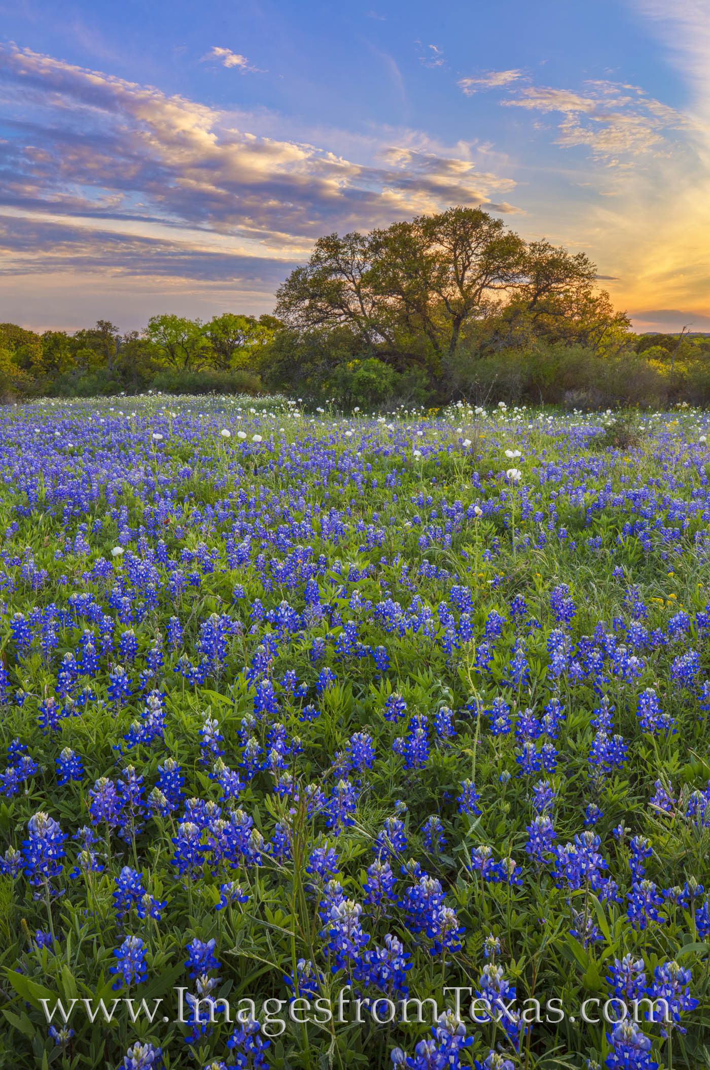 bluebonnets, sunset, peace, wildflowers, spring, 2020, hill country, country roads, rural, photo