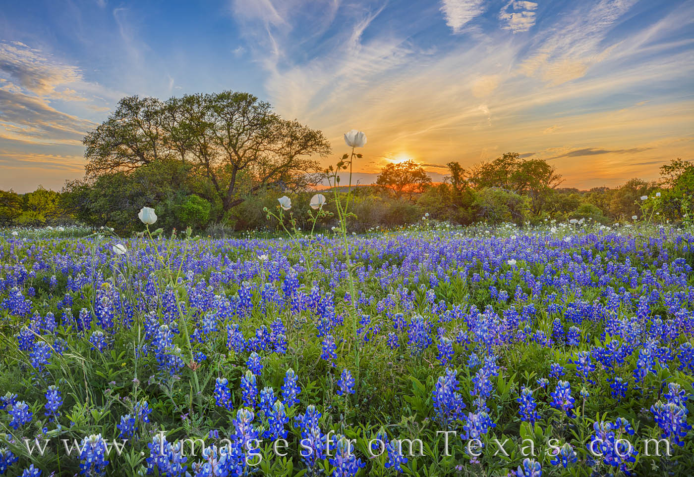 bluebonnets, white prickly poppies, wildflowers, bluebonnet prints, wildflower prints, sunset, hill country, dirt road, evening, tranquil, landscapes, photo