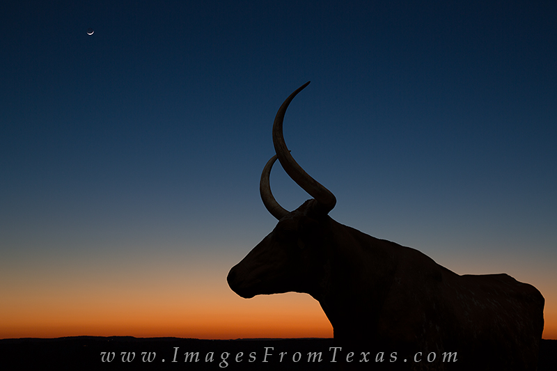 longhorns,longhorn images,texas hill country images,texas hill country,moonset, photo
