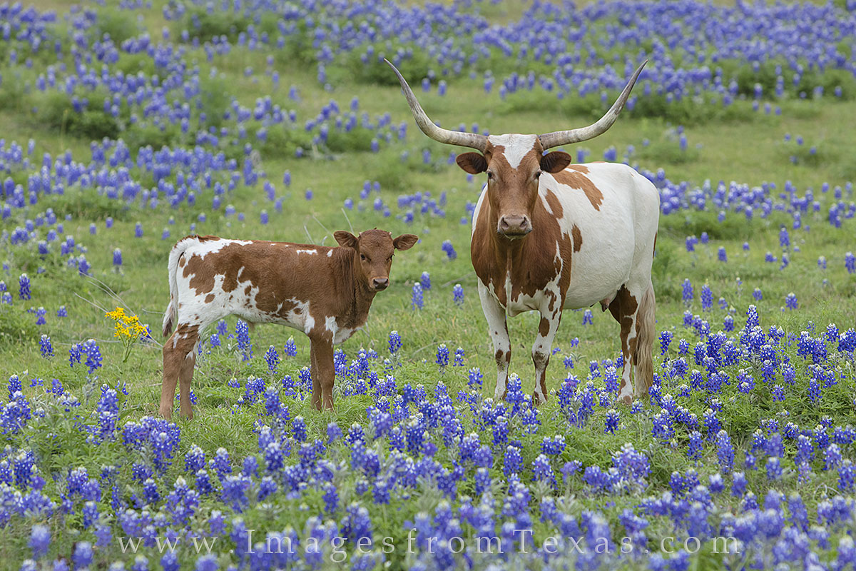 longhorns, longhorn images, bluebonnets, bluebonnet images, texas bluebonnets, texas wildflowers, texas wildflower photos, texas hill country, hill country prints, photo