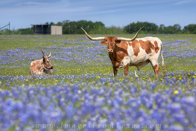 bluebonnet photos,longhorns,longhorns in bluebonnets,texas wildflowers,wildflower images, photo