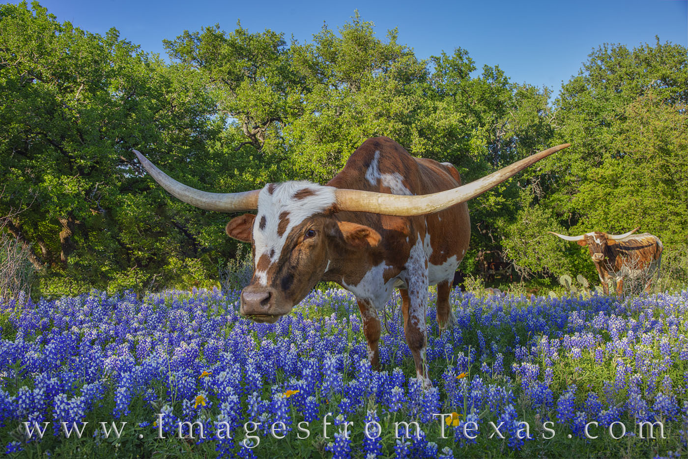 Longhorns, bluebonnets, dirt road, wildflowers, spring, hill country, rural, cattle, photo