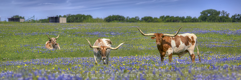 Bluebonnet Panorama,Bluebonnet pano,Bluebonnet pictures,Bluebonnet images,Bluebonnet photos,Texas Wildflowers pictures,Texas Wildflower images,Texas wildflower photos,texas wildflowers,longhorns and b, photo