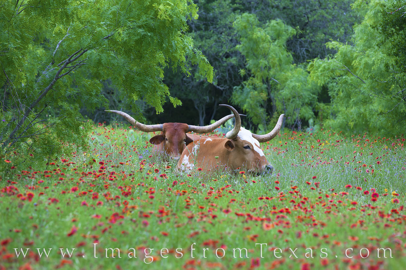 longhorns, wildflowers, texas wildflowers, texas hill country, hill country, firewheels, indian blankets, llano, spring, may, photo