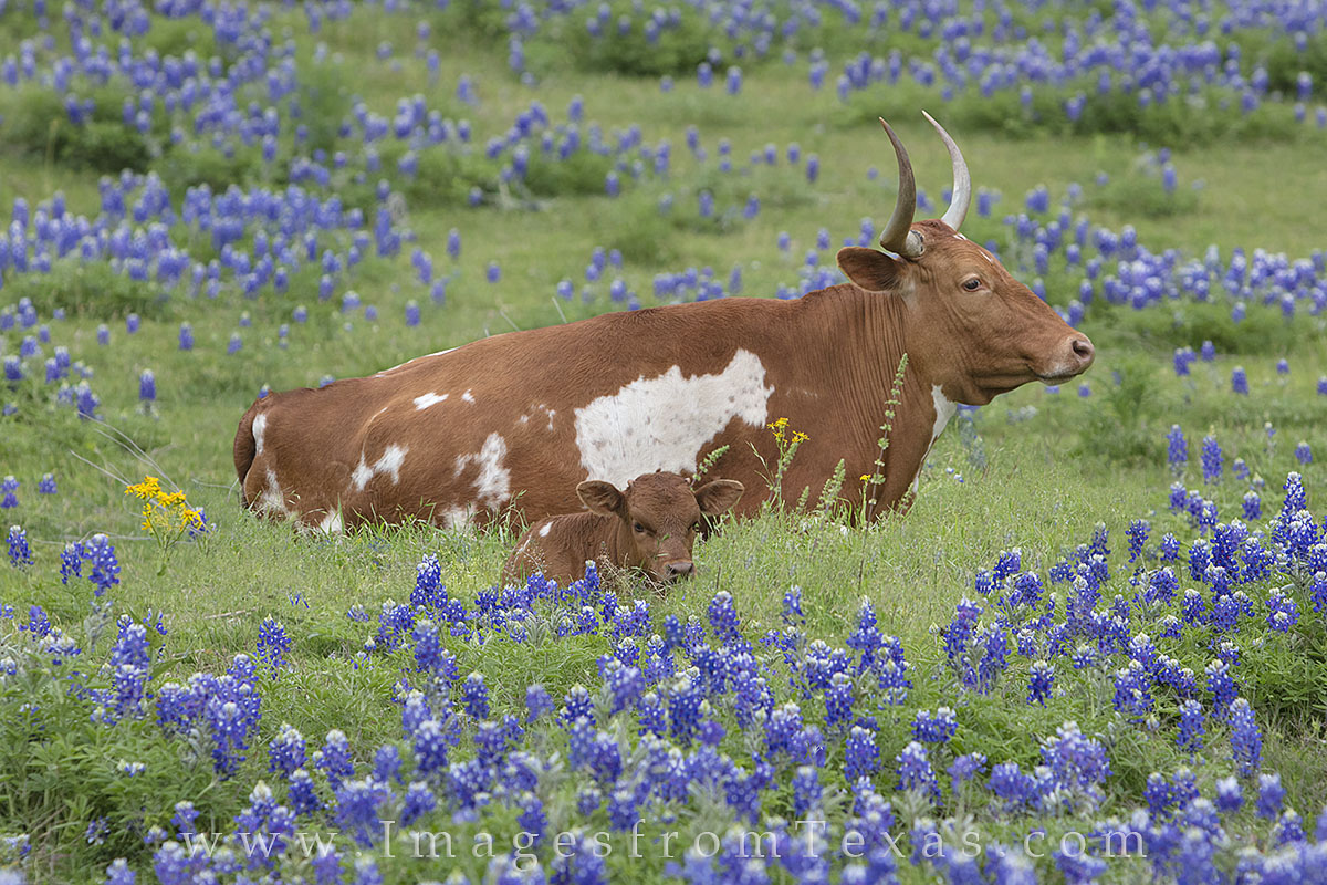 A longhorn and a calf rest easy in a green pasture surrounded by patches of spring blueobonnets. I'd been to this field numerous...