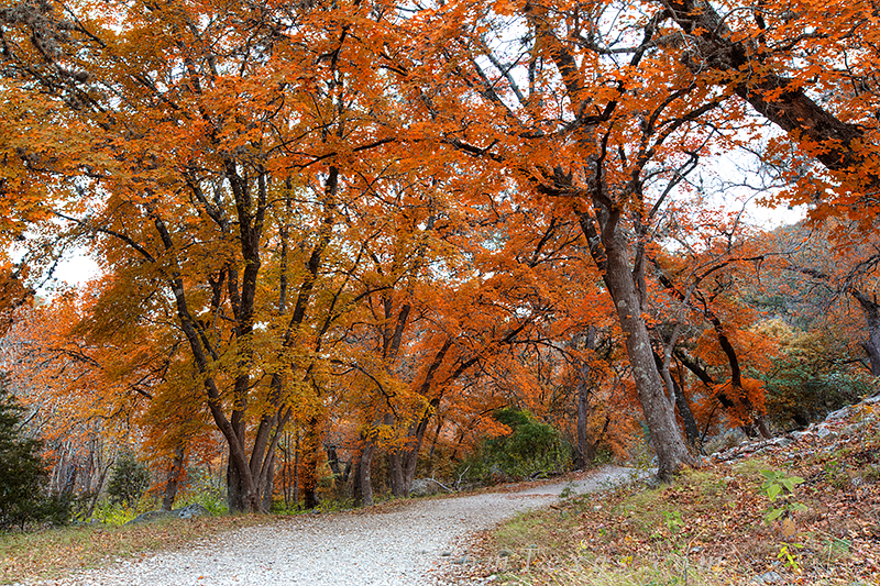 November colors come to Lost Maples State Park, a small refuge for an ancient colony of Red Maples trees. Each Autumn, the colors...