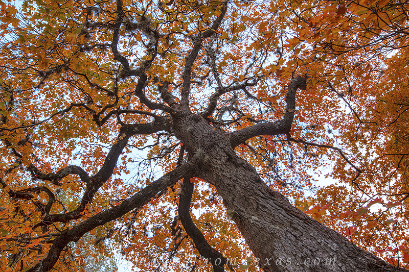 lost maples state park,maples trees,texas maples,texas hill country, photo