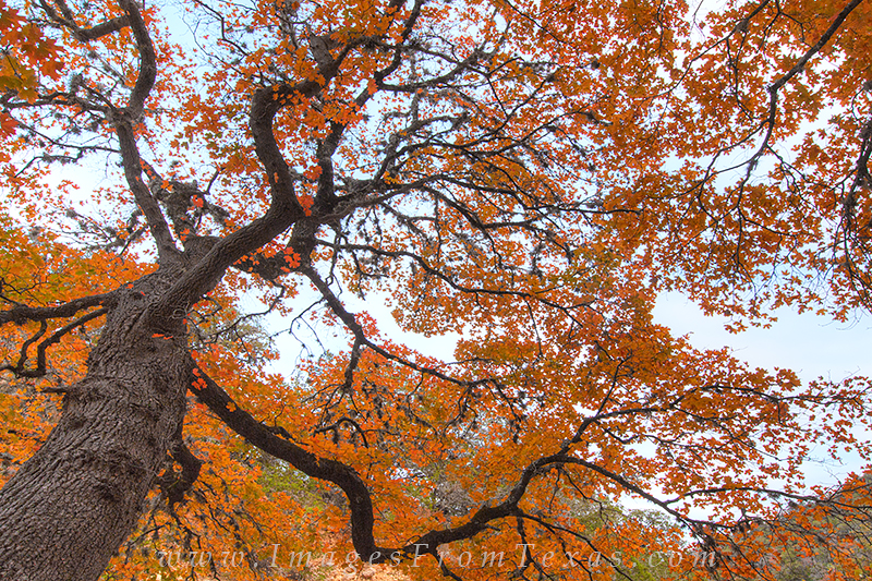 As the last of a series of three abstract images of red maples in the Texas Hill Country, this photograph of an old tree shows...