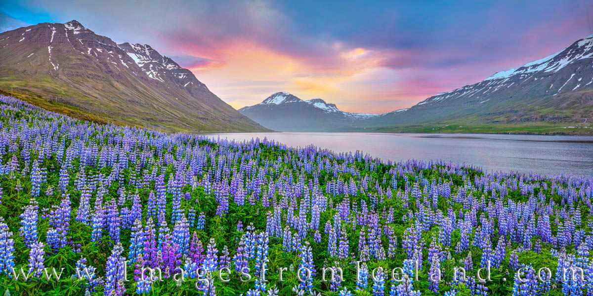 On a little dirt road heading east out of the quaint village of Seydisfjördur, summer wildflowers show off their amazing color...