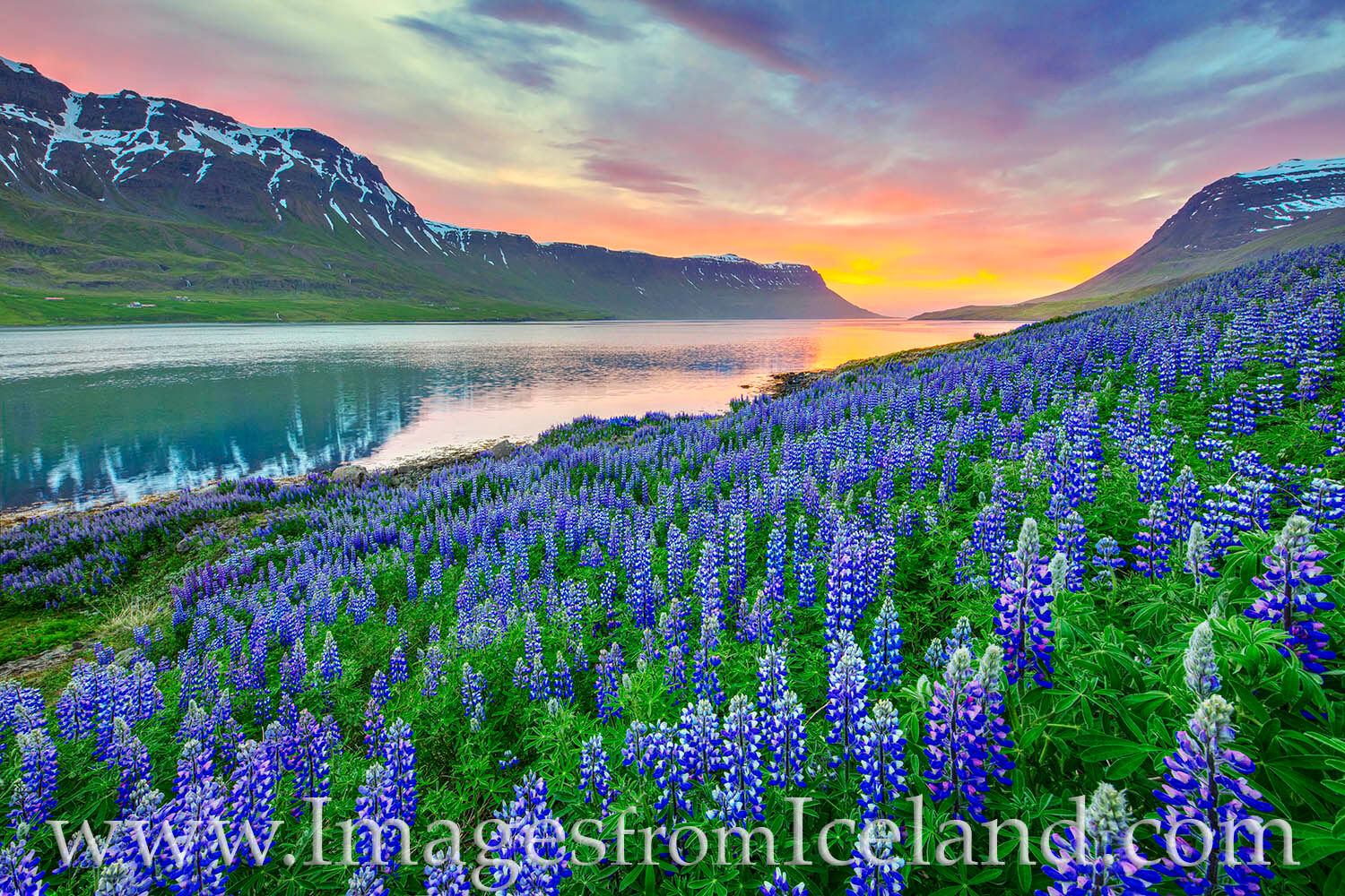 Lupine fill the slopes leading to the water near Seydisfjördur, Iceland just after midnight on a calm summer evening. The lingering...