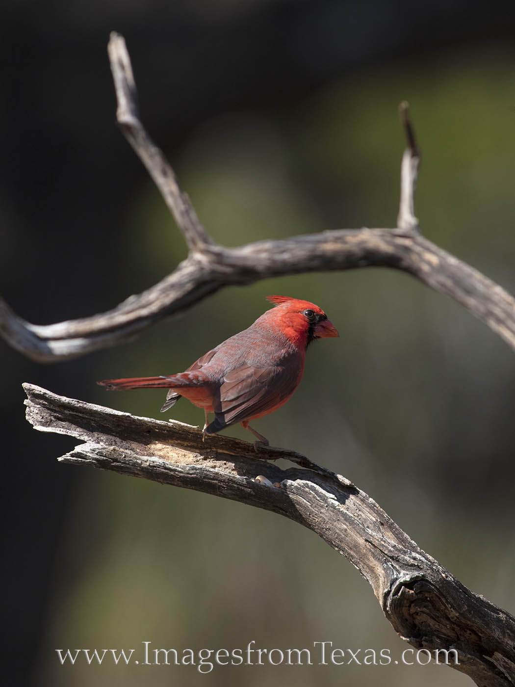 texas birds, birds, hill country, cardinal, male cardinal, red birds, red, photo