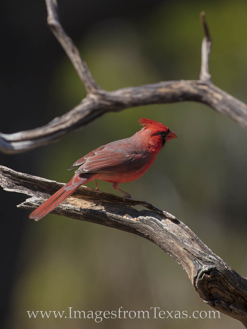 cardinal, male cardinal, red bird, hill country, red, birds, texas birds, spring, photo