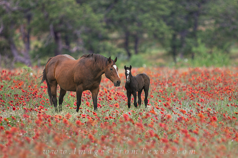 indian blankets,horses,wildflowers,texas wildflowers,texas hill country, photo