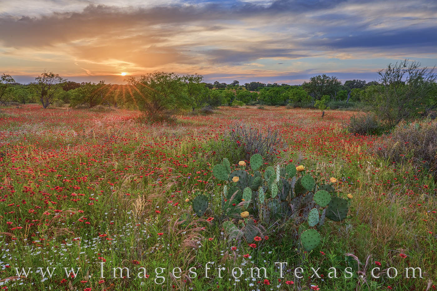 wildflowers, texas hill country, prickly pear, indian blankets, sunset, sunburst, beauty