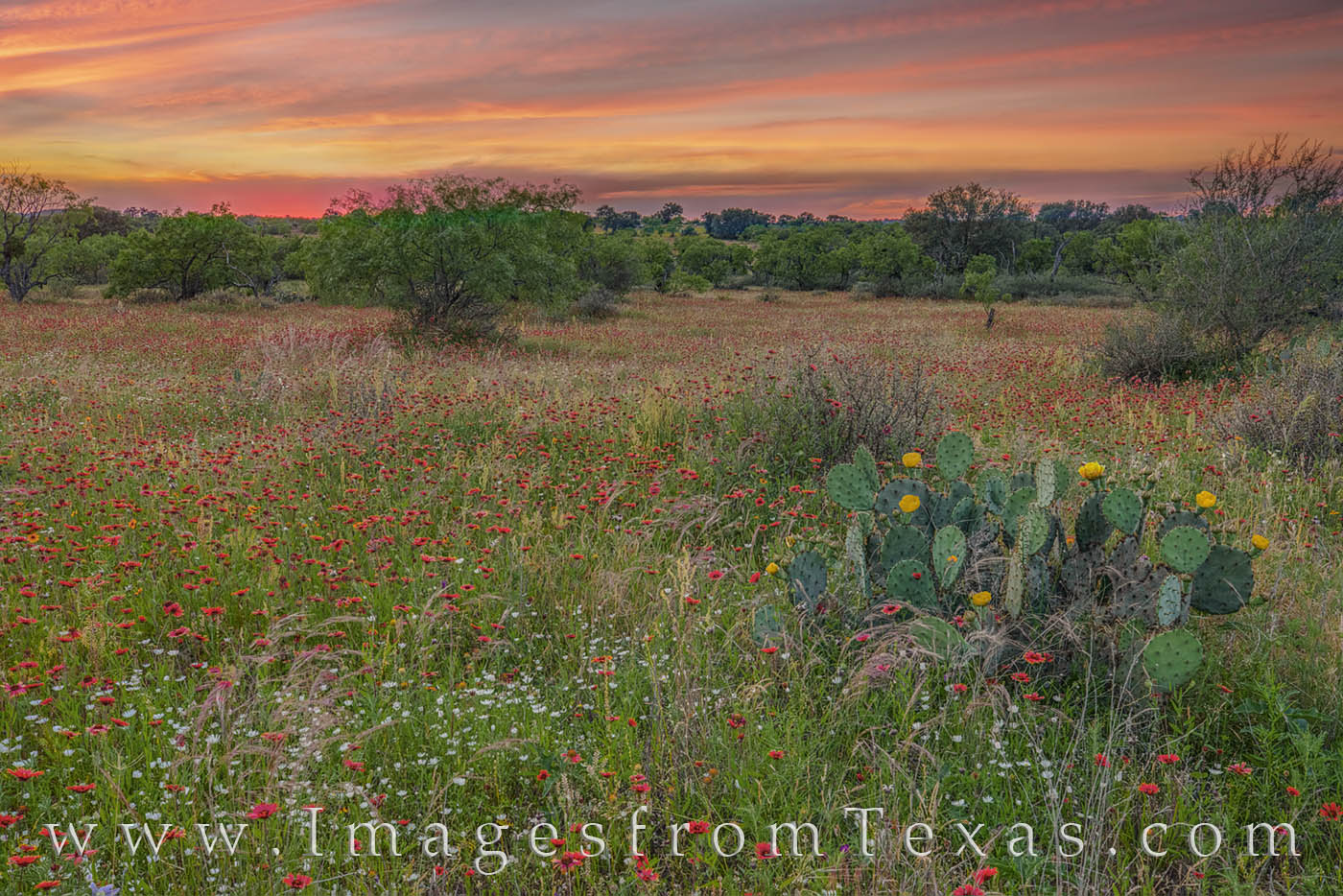 wildflowers, hill country, sunset, indian blankets, firewheels, prickly pear, blooms, texas landscapes, texas beauty, photo
