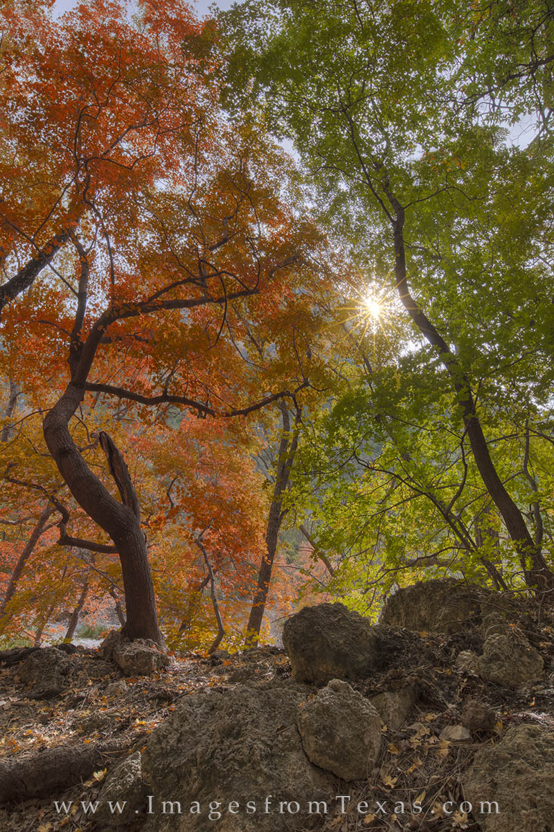 Sunlight peaks through bigtooth maples in Guadalupe Mountains National Park. These two trees show the contrast in their colors...