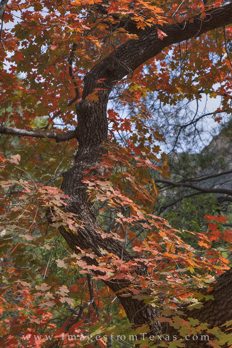 This image from McKittrick Canyon in Guadalupe Mountains National Park focuses on the beautiful fall colors of the bigtooth maples...