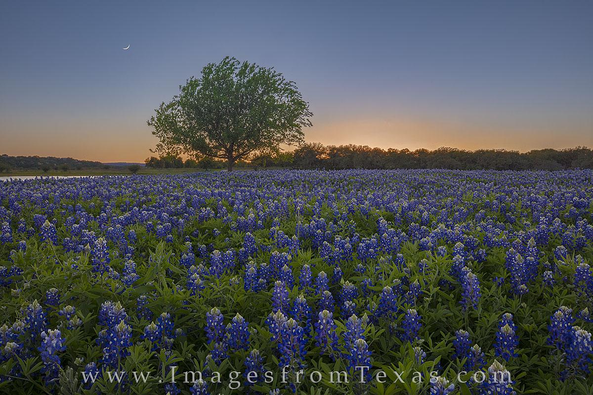 bluebonnets, bluebonnet photos, texas wildflowers, wildflower photos, wildflower prints, texas hill country, texas sunset, moon, moonset, crescent moon, bluebonnet field, texas bluebonnets, texas land, photo