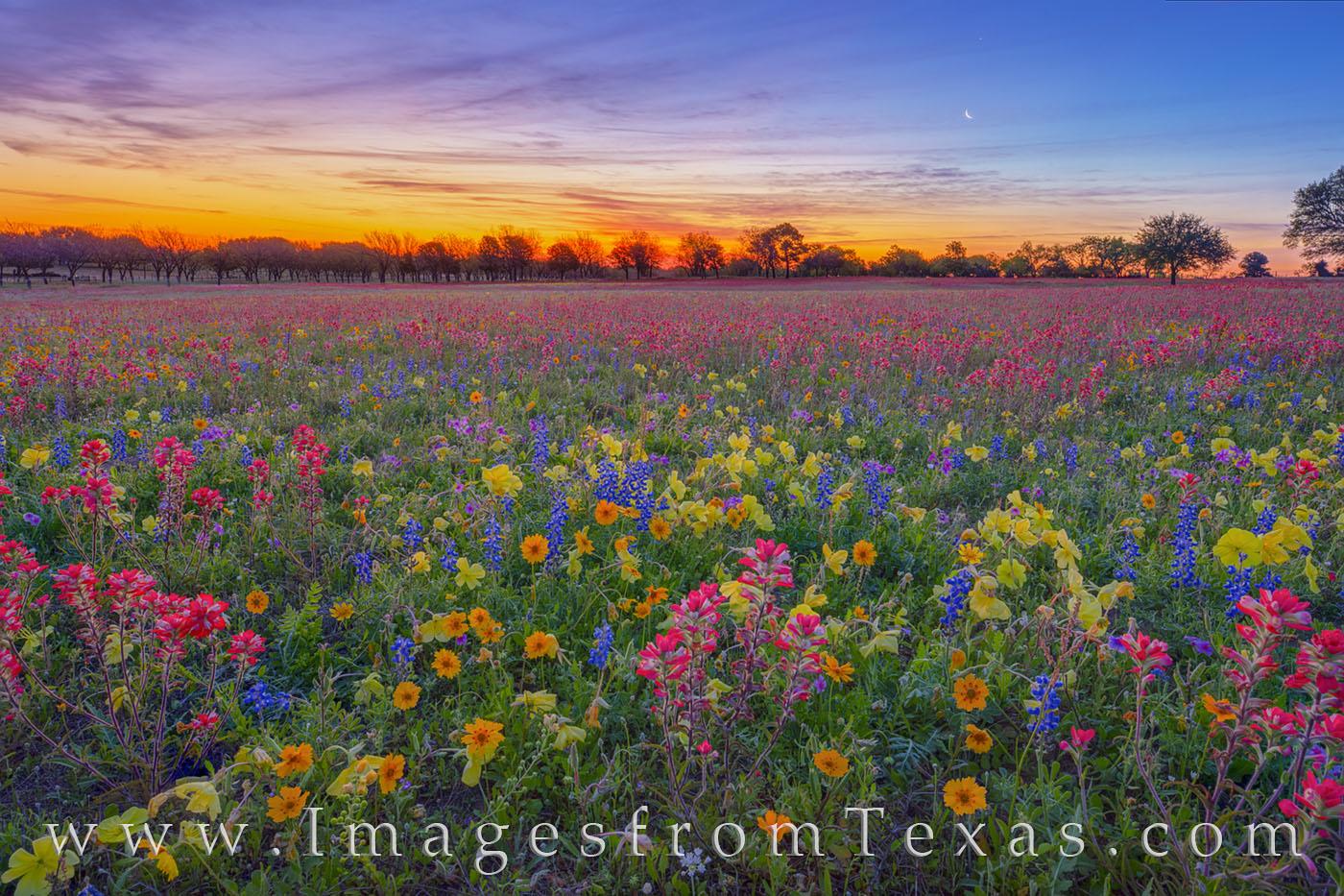 Wildflowers, bluebonnets, tickseed, coreopsis, phlox, primrose, paintbrush, new berlin, church road, single oak road, rural, spring, sunrise, morning, frost, cold, calm, April, photo