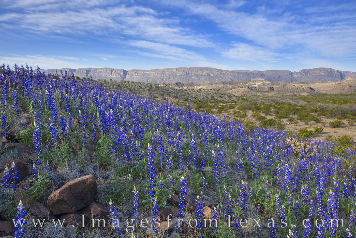 bluebonnets, big bend national park, chisos mountains, river road west, wildflowers, blue, big bend, desert bloom, photo