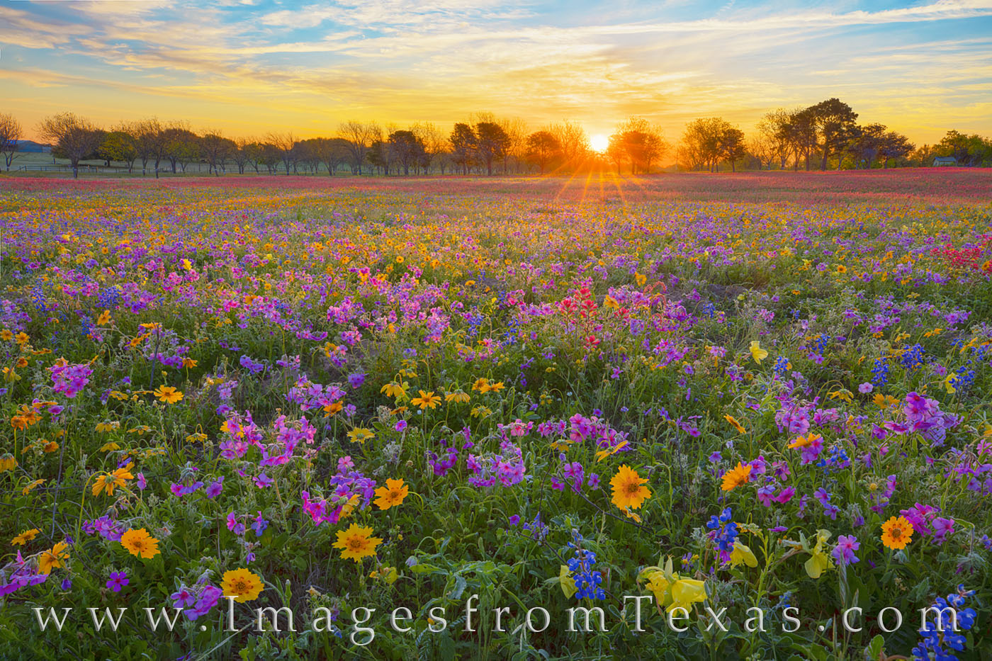 Wildflowers, new berlin, spring, april, red, blue, yellow, gold, purple, phlox, bluebonnets, coreopsis, groundsel, paintbrush, primrose, buttercups, private, sunrise, sunburst, photo