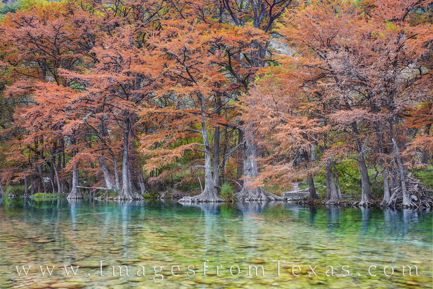 On an overcast morning along the Frio River in Garner State Park, the leaves of old Cypress trees show off their Autumn colors...