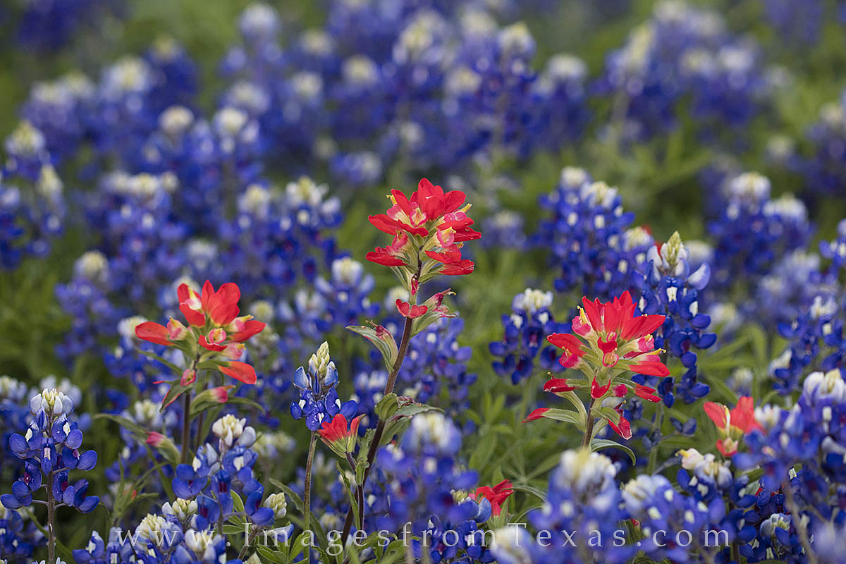 Texas wildflowers, both bluebonnets and paintbrush, color a field in spring color in the Texas Hill Country.